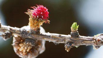 Fleur femelle de mélèze