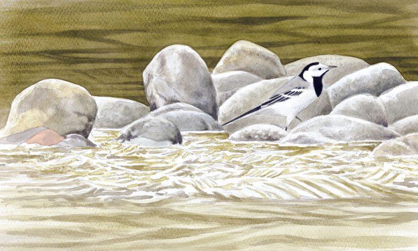 Oiseaux de rivière dessinés par Pierre Baumgart