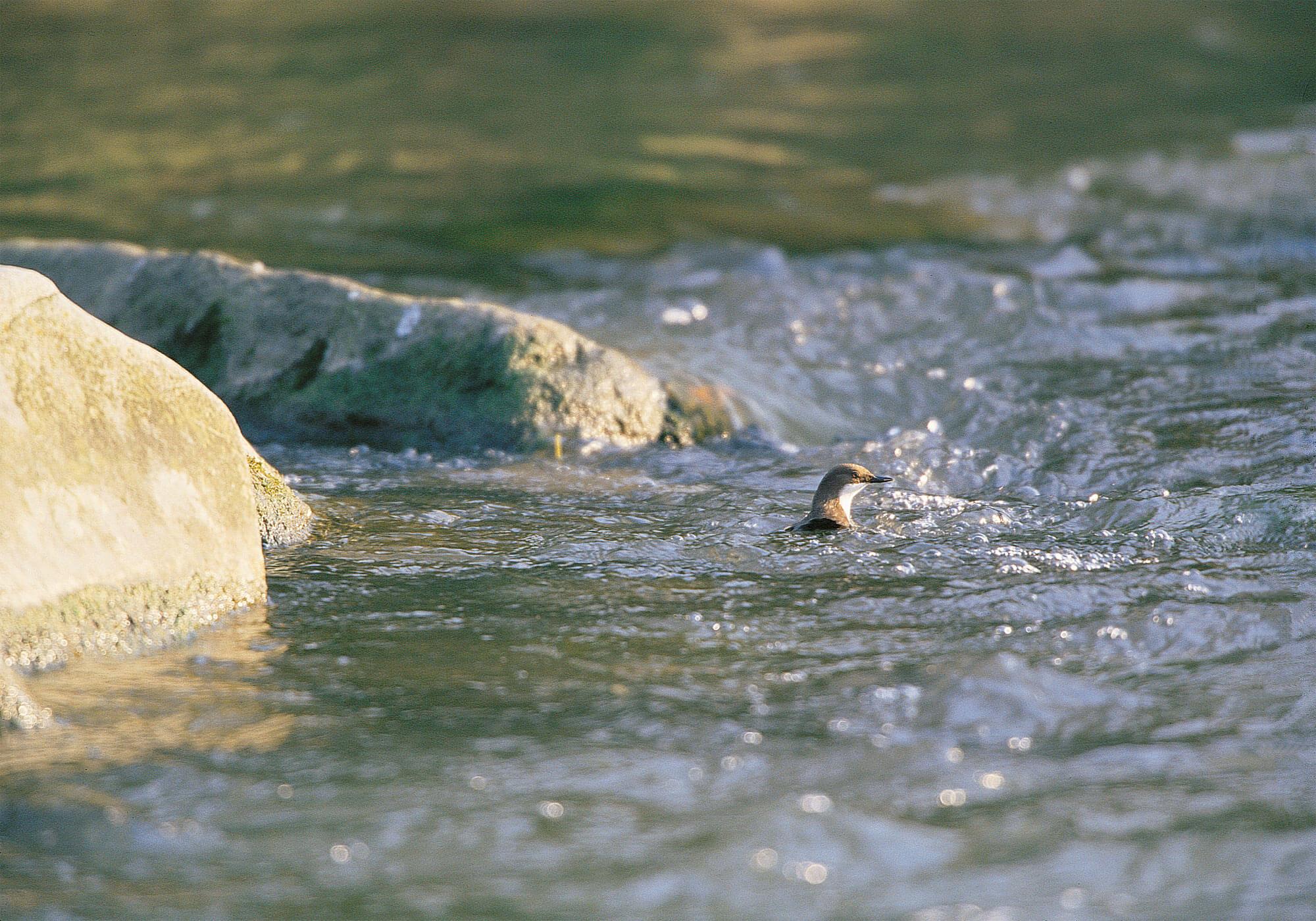 Bergeronnette, cincle et autres oiseaux de rivière