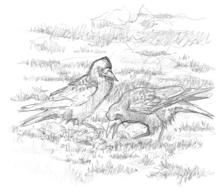 Naissance d'une image de corbeaux freux