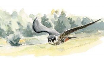 Le faucon hobereau chasse avec aisance les insectes et petits oiseaux en plein vol.