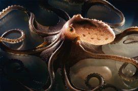 Le voyant: Cet œil qui nous fixe appartient au poulpe tacheté. Une pieuvre à longs bras que les plongeurs nocturnes observent dans les rochers ou dans les herbiers de posidonies. Pas très grand – une quinzaine de centimètres pour 400 grammes –, ce céphalopode se nourrit de bivalves, de poissons et d'autres poulpes. / © Heidi & Hans-Jürgen Koch