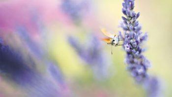 Les fleurs parfumées de la lavande attirent quantité d'insectes.