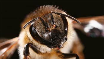 Les poils de l'abeille ont de multiples fonctions, notamment thermorégulatrice. En hiver, celles-ci se réunissent souvent en grappes pour améliorer encore l'effet isolant.
