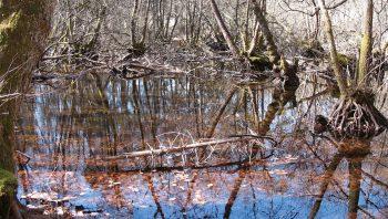 Les racines des aulnes s'ancrent comme des échasses dans l'eau trouble.