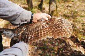 L'état des plumes permet de déterminer l'âge des chouettes adultes. / © Sandro Campardo