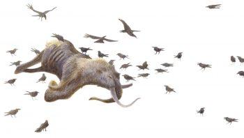 L'hiver et ses carcasses offrent une nourriture de choix au grand corbeau. L'acuité visuelle exceptionnelle de ce recycleur lui permet de repérer très vite un cadavre. C'est presque toujours lui le premier sur les lieux.
