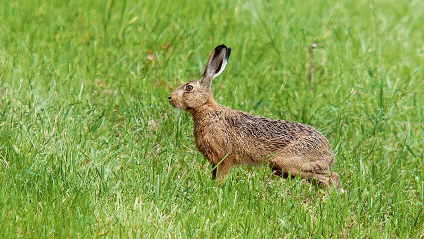 Les oreilles du lièvre brun