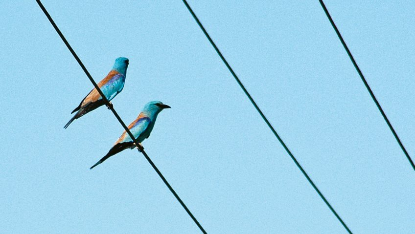 Rollier, l'oiseau bleu