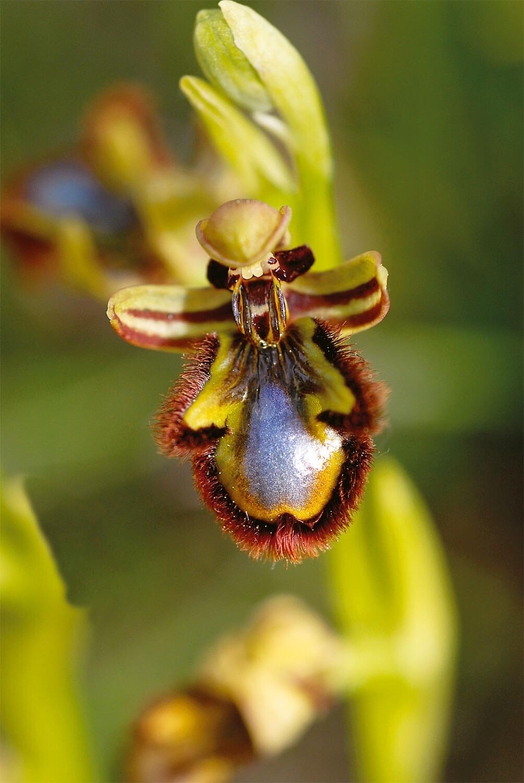 Les espiègleries des orchidées
