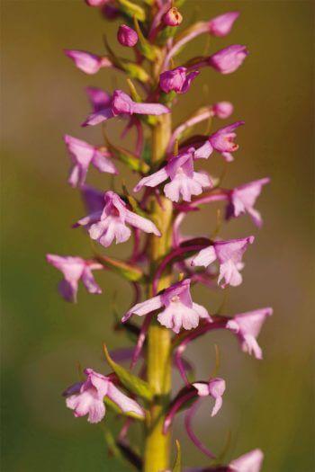 Les orchidées, professionnelles de la séduction