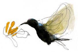 Souimanga de Palestine (Nectarinia osea) / © Denis Clavreul