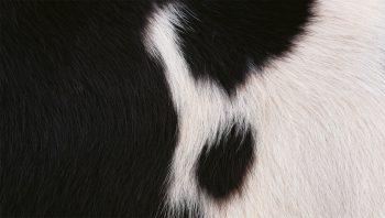 Poils de vache