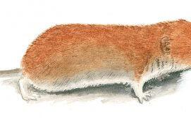 Reconnaissable à son pelage roux, le campagnol roussâtre est un rongeur typiquement forestier. / © Jean Chevallier