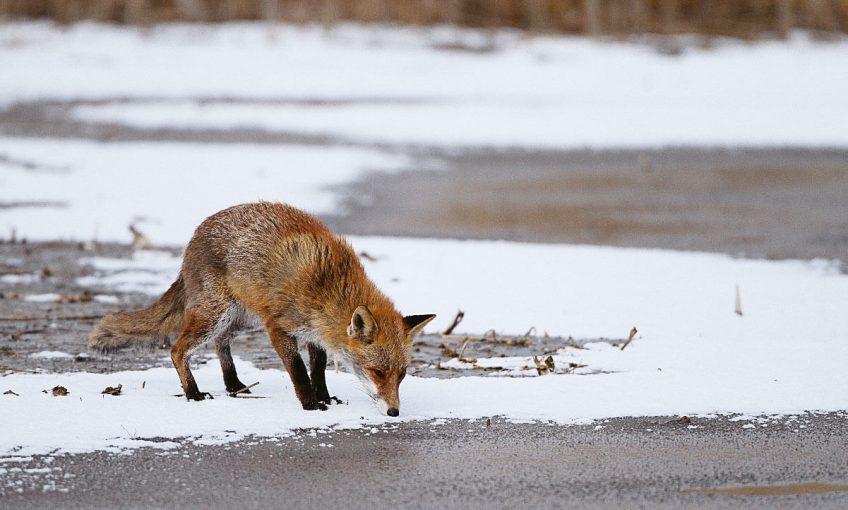 Le renard, flamme rousse