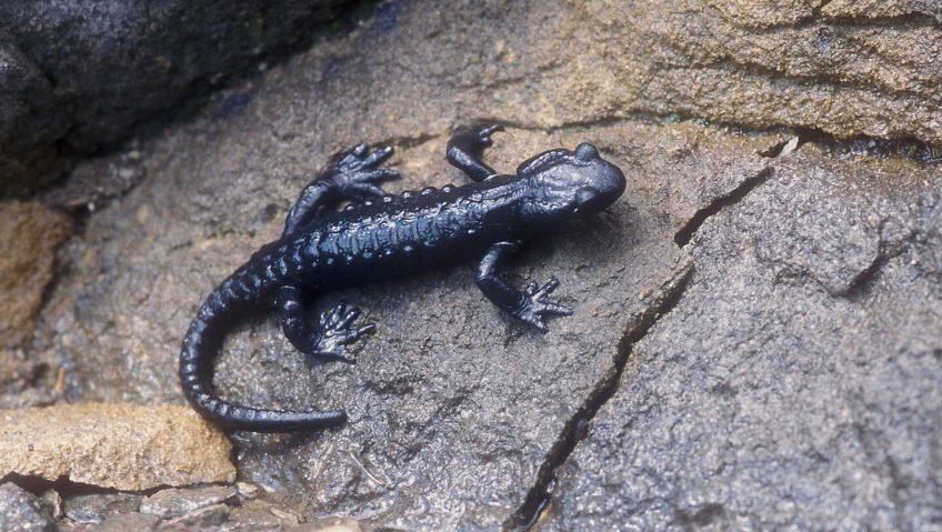 Salamandre noire unique