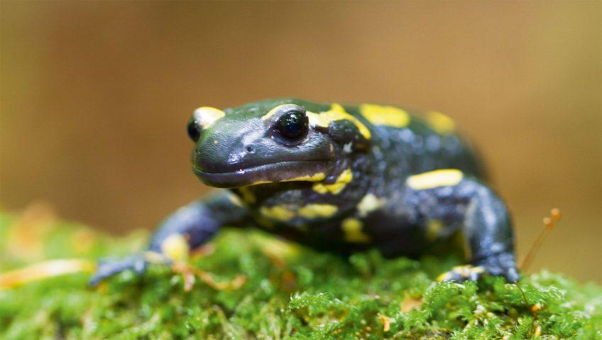 Les salamandres, amphibiens voyageurs