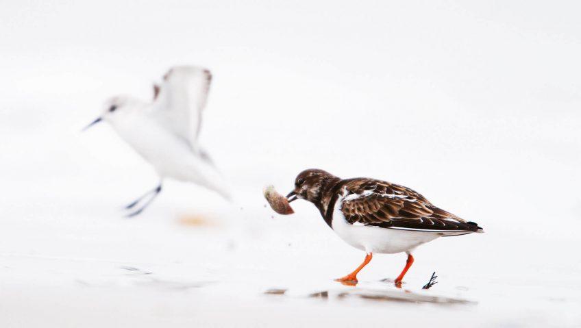 Le tournepierre, oiseau... tourneur de pierres