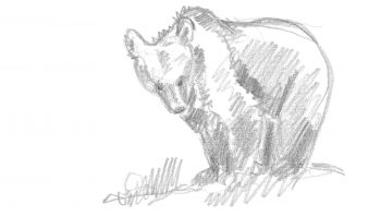Croquis d'ours