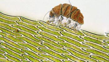 Le tardigrade est vraiment… minuscule! Ici en comparaison avec des cellules de mousse.
