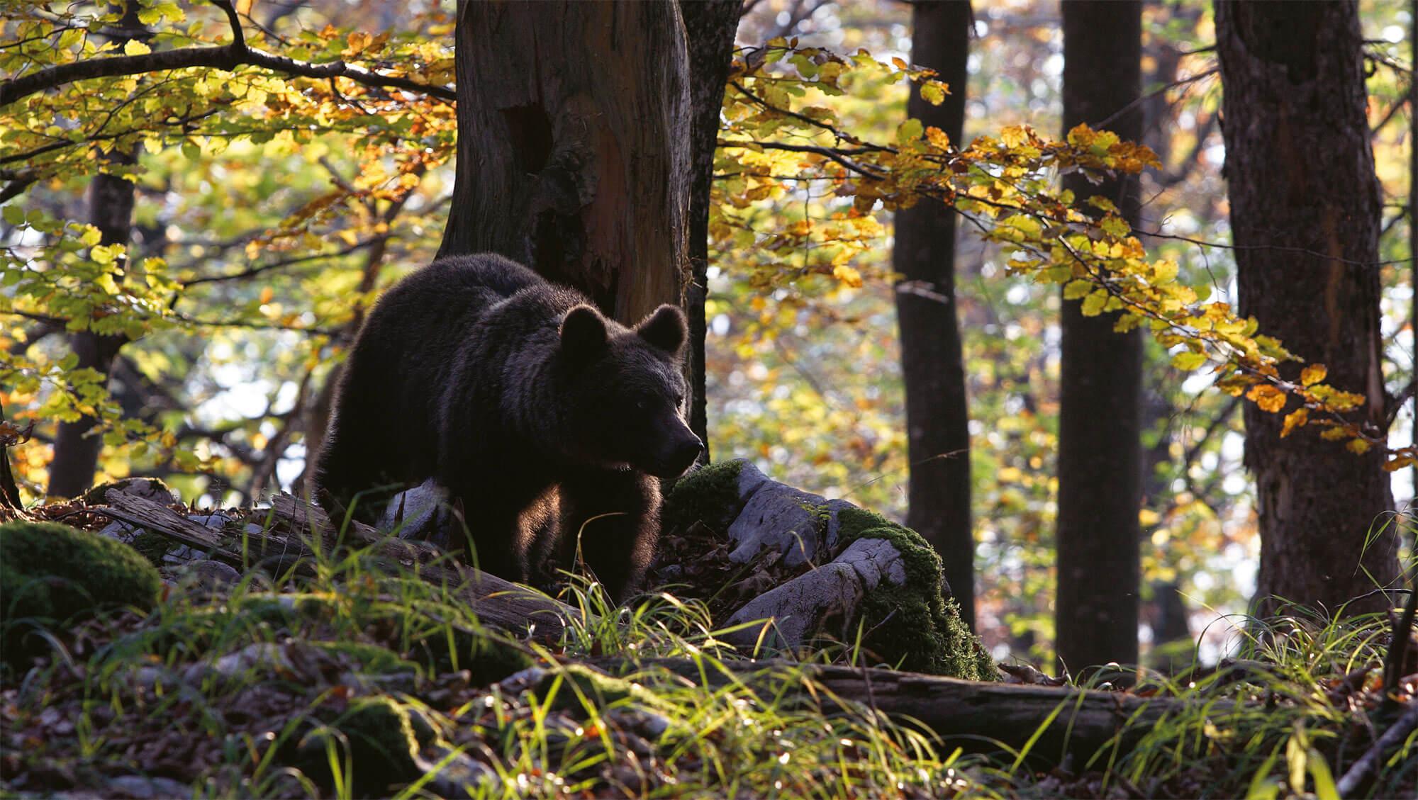 Pourquoi protéger l' ours ?