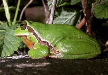 Rainette verte ou arboricole, un amphibien pionnier qui peut pondre dans des zones humides temporaires.