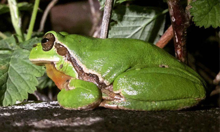 Rainette verte et autres grenouilles ont profité de l'année 2016 exceptionnellement pluvieuse.