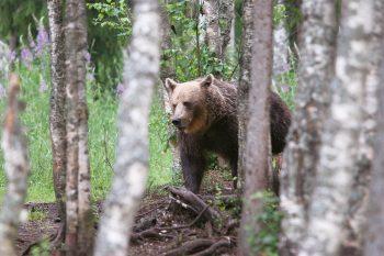 Un ours peut parcourir plusieurs dizaines…