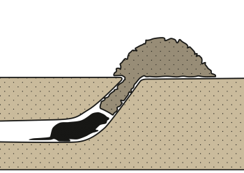 Campagnol terrestre: Galerie oblique au bord de la taupinière