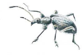 «Charançon de l'ortie (aspect poudré et brillant)» Les larves du charançon de l'ortie se développent dans les tiges de leur plante hôte. L'adulte s'égare volontiers sur les ombelles d'un sureau qui pousse à proximité. / © Laurent Willenegger