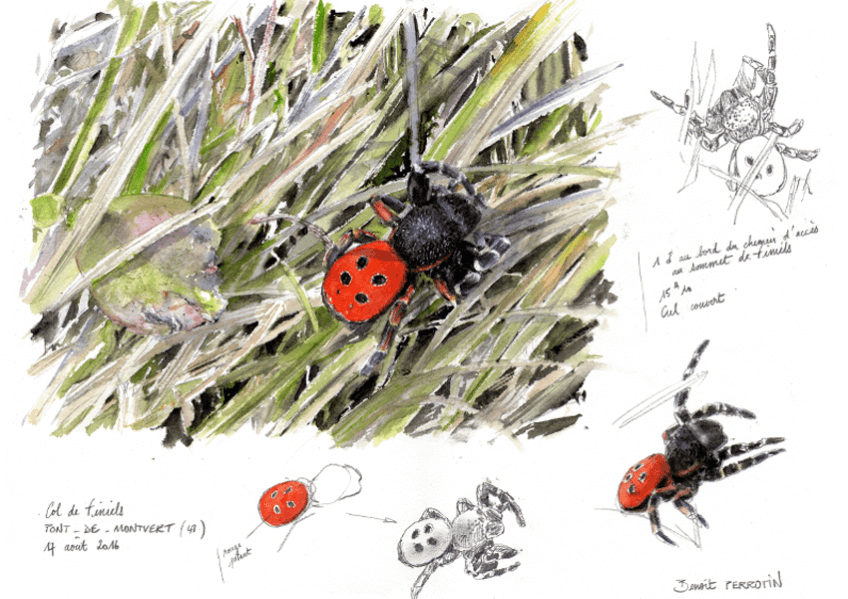 Araignée coccinelle par Benoît Perrotin