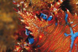 Galathée: Le galathée bigarré ne montre guère sa superbe parure bleu et rouge car il fuit la lumière comme la peste. Nécrophage, il vit sous les rochers de la zone des laminaires, ces algues rubanées qui frangent la limite des marées de basses eaux. Cousin des crabes, il s'en distingue par son rostre et sa nageoire abdominale qui lui permet de fuir à reculons, façon écrevisse. / © Christian König