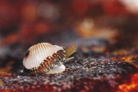 Grain de café: La porcelaine puce ou grain de café porte et fabrique l'un des coquillages les plus raffinés du littoral. Vagabond des rochers, ce gastéropode est un brouteur d'animaux: il se délecte principalement d'ascidies dont il aspire le contenu grâce à sa trompe. / © Christian König