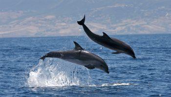 Grands dauphins en Méditerranée