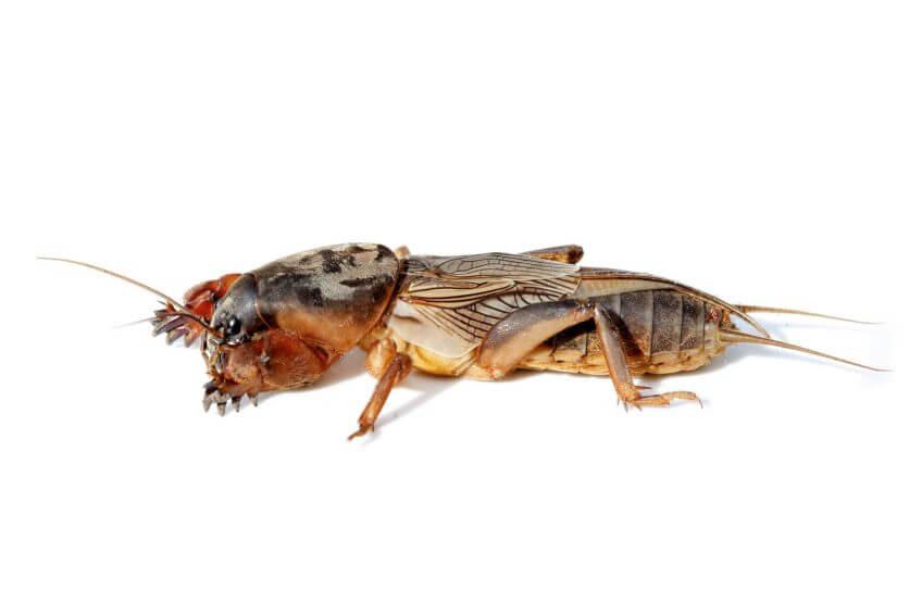 Grillon-taupe ou courtilière