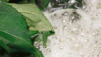 La décoction de feuilles de sureau possède de nombreuses vertus médicinales.