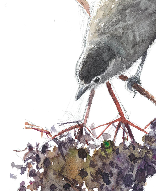 Le sureau, arbre aux oiseaux