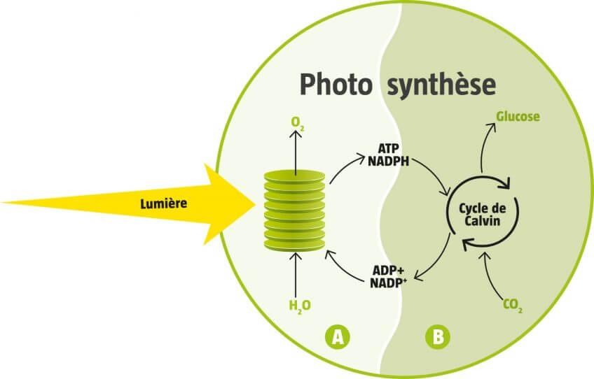 Au plus près du miracle de la photosynthèse