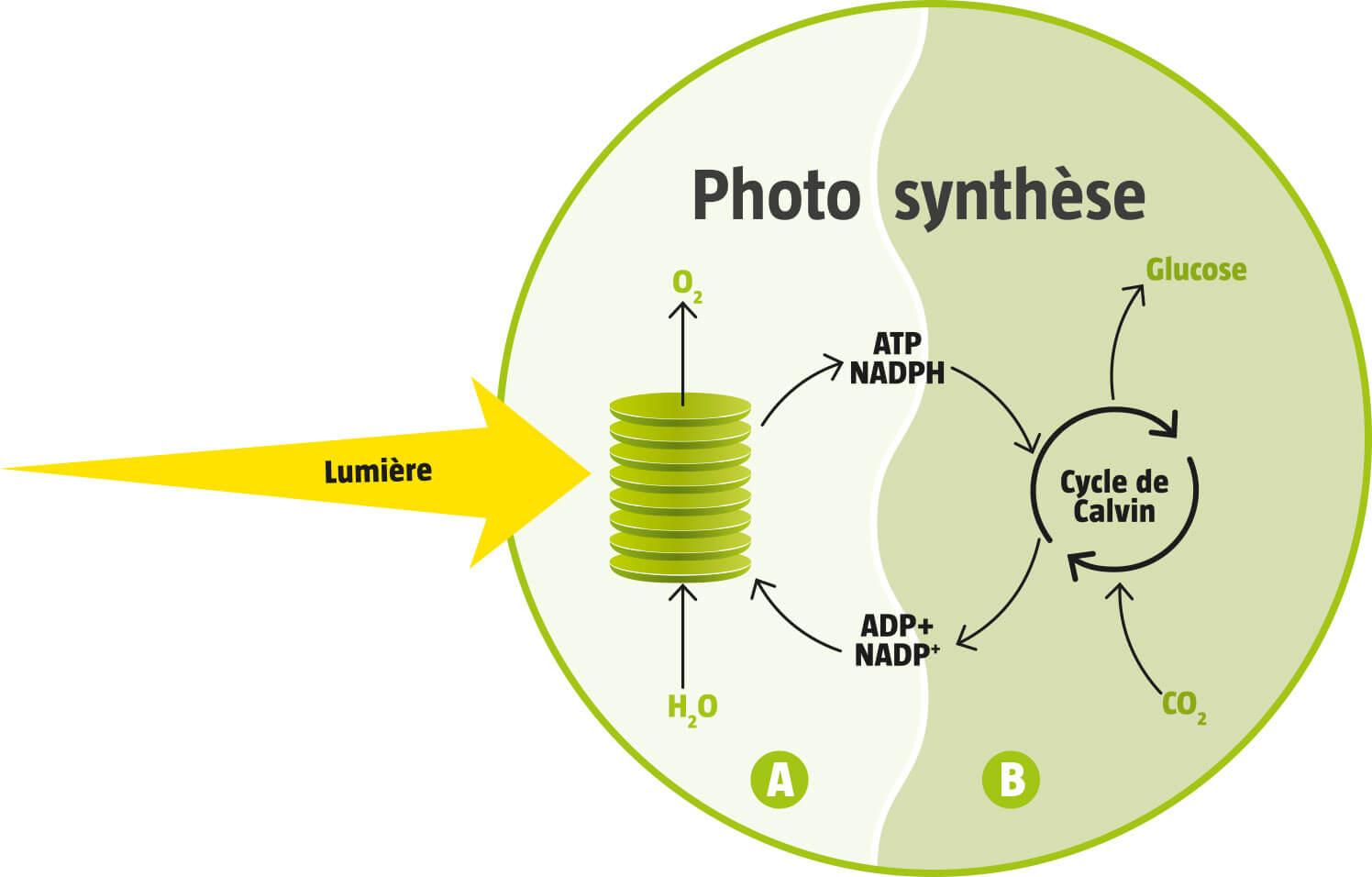 Tout savoir sur la photosynthèse