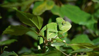 Le caméléon symbolise l'art du camouflage…