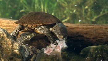 Les plus anciennes tortues possédaient un…