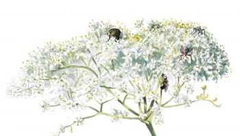 Ombelle de fleurs de sureau