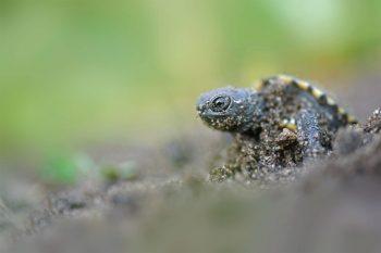 S'il y a suffisamment de soleil, les jeunes cistudes naissent après une incubation de trois mois. Elles sortent alors de terre courant septembre. Mais une saison maussade rallonge leur développement. Quand les tortues éclosent en octobre, elles attendent tout l'hiver dans leur trou avant d'émerger au printemps suivant.