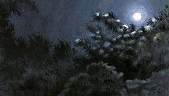 Sureau noir en fleurs, sous la lune