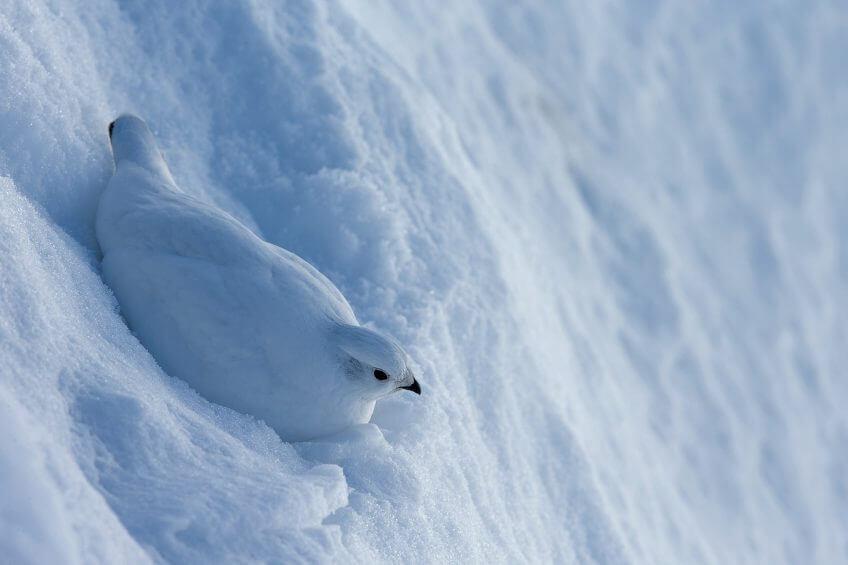 Lagopede alpin neige