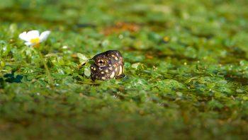 Cette cistude émerge de l'étang.