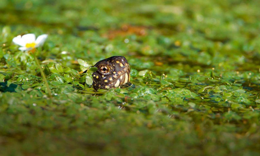 Cistude parmi les lentilles d'eau