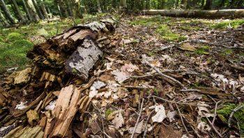 Le bois mort est primordial pour la biodiversité forestière.