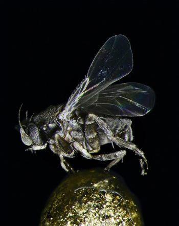 Animaux du sol: mouche des cercueils