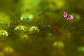 Le mâle de Sminthurides parvulus saisit la femelle grâce à ses antennes munies de crochets. Puis celle-ci le soulève à la perpendiculaire. Le mâle dépose ensuite par terre des paquets de semence que sa partenaire collecte sous son abdomen. / © Philippe Lebeaux